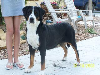 Greater Swiss Mountain Dog lola1