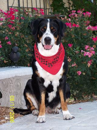 greater swiss mountain dog lola